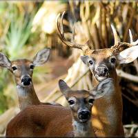 The Whitetail Family by Donnie Shackleford