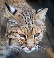 Stare of the Bobcat