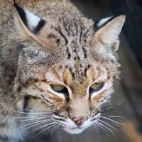 Stare of the Bobcat by Donnie Shackleford