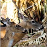 The Buck & The Doe by Donnie Shackleford
