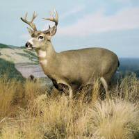 The Buck by Donnie Shackleford
