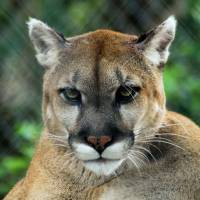 Stare of the Panther by Donnie Shackleford