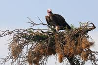African Vulture