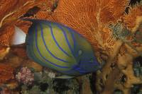 Blue-ring Angelfish - afbr8