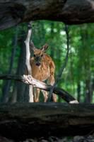 Curious - Whitetail Deer by Daniel Teetor