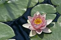 Lilly Pad Flower