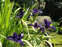 Purple Irises