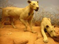 Maneaters of Tsavo at the Field Museum, Chicago