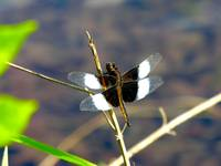Dragonfly at Fort Custer