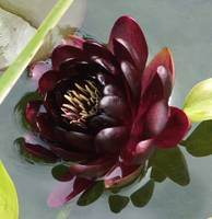 Dark Red Waterlily
