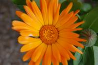 calendula (english marigold) opened