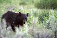 Black Bear (Yellowstone National Park)