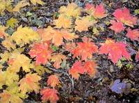 Wade Mountain Maple Leaves