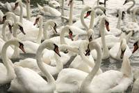 Swans on Balaton