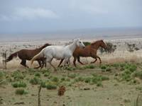 Galloping Mares Horse Picture