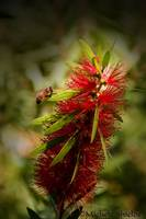 The Bee and the Bottlebrush