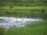 Swans at Leighton Moss