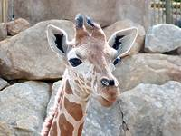 Giraffe Youngster African Wildlife