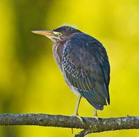 Green Heron , ButoridesVirescens