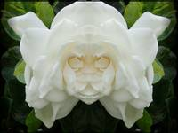 Face of the Gardenia