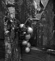 Age Ole Southern Tomatoes BW