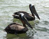 07-0618-02 Two Brown Pelicans-IK-8x10