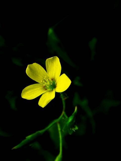 Yellow clover flower macro 1 by sarah hanlon mightylinksfo