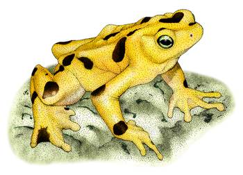Panamanian Golden Frog by artist Roger Hall. Giclee prints, art prints, animal art, frog art, Atelopus zeteki; from an original pen and ink drawing