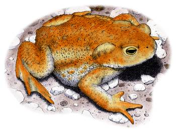 American Toad by artist Roger Hall. Giclee prints, art prints, animal art, frog art, Bufo americanus; from an original pen and ink drawing