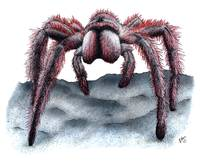 Rose-Haired Tarantula