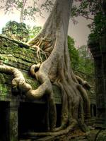 Angkor Wat Temple Tree