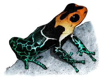 Red-Headed Poison Dart Frog by artist Roger Hall. Giclee prints, art prints, animal art, frog art, Poison Arrow Frog (Dendrobates fantasticus); from an original pen and ink drawing