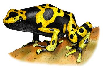 Yellow Banded Poison Dart Frog by artist Roger Hall. Giclee prints, art prints, animal art, frog art, Bumble-Bee Poison Dart Frog (Dendrobates leucomelus); from an original pen and ink drawing
