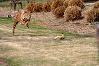 cheetah run
