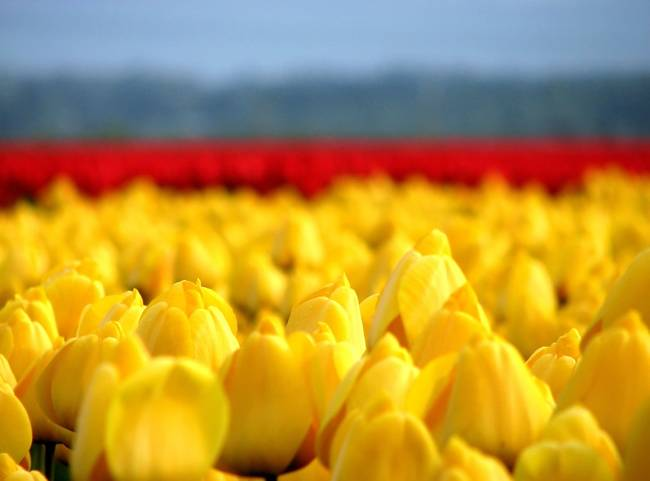 Depth of Tulip Field 1