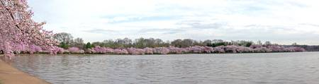 CherryBlossom on the Tidal Basin
