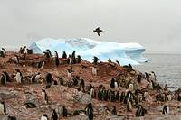 skua over penguins and ice