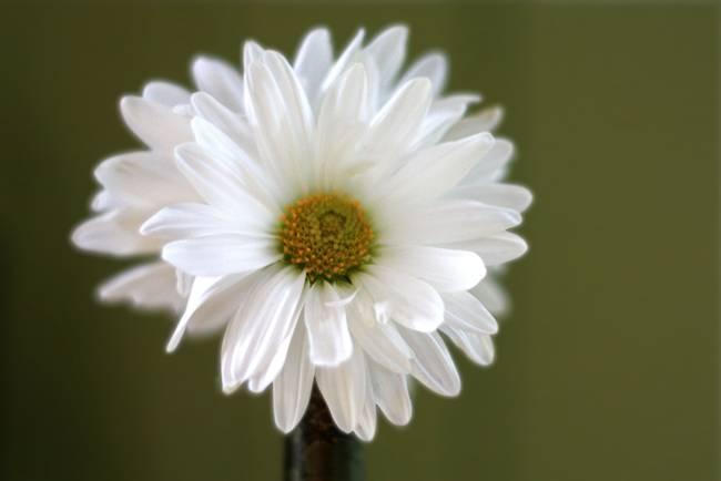 Om Gallery: Daisy