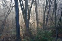 Dawn Mist in the Woods