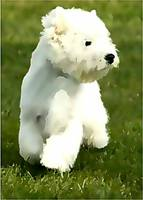 West Highland White Terrier in Grass