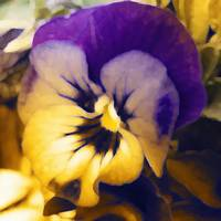 Painted Pansy 2