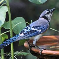 Blue Jay Whistle Wetter