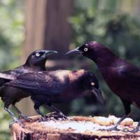 Grackle Meeting
