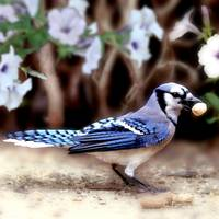 Bluejay With Snack