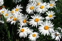 Mass Daisies in Bloom