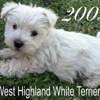 Puppy Announcement! Art Prints & Posters by West Highland White Terrier