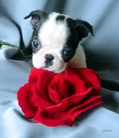 Boston Terrier with Red Rose