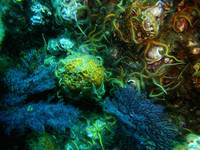 Sponge, Hydrocoral and Brittle Stars