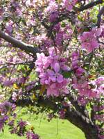 Crabapple Blossoms, Highland Park