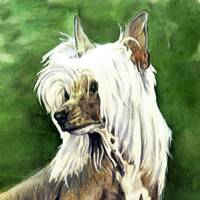 Chinese Crested Dog Up Close and Personal
